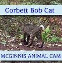 bob cat in Corbett