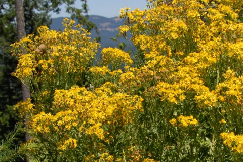 Tansy ragwort is manageable